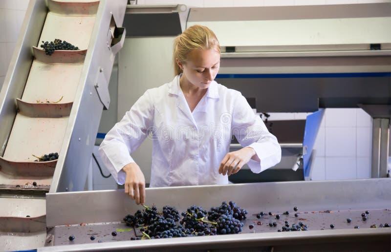 Сконцентрированный женский работник винодельни на сортировать линию стоковая фотография