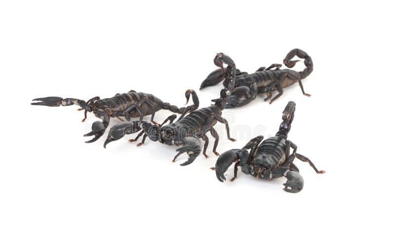 скорпионы стоковая фотография rf