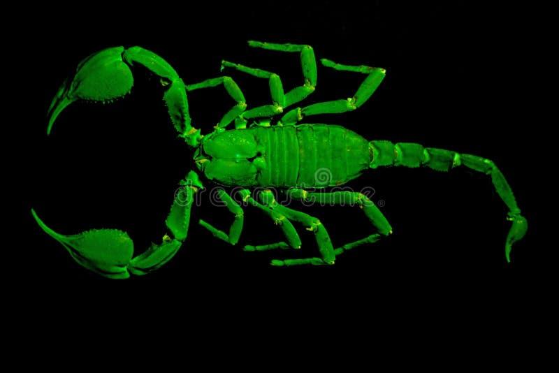 Скорпион императора под ультрафиолетовым светом стоковое фото rf