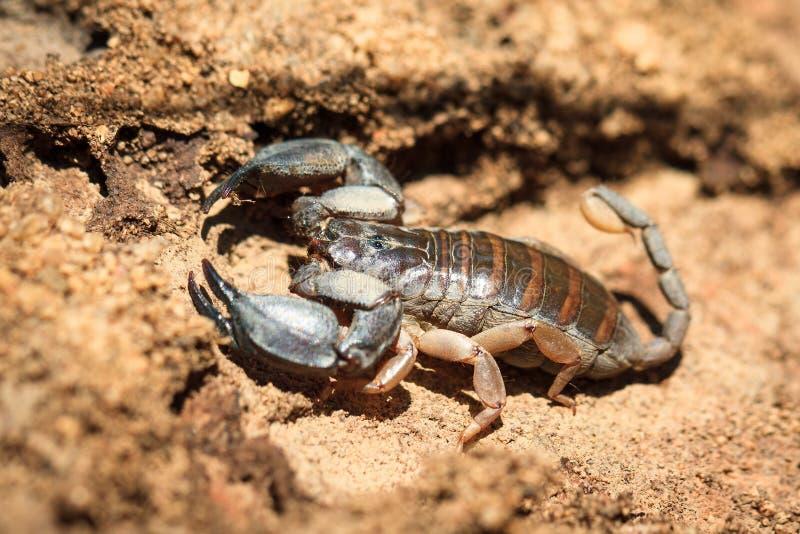 Скорпион Мадагаскара стоковое фото rf