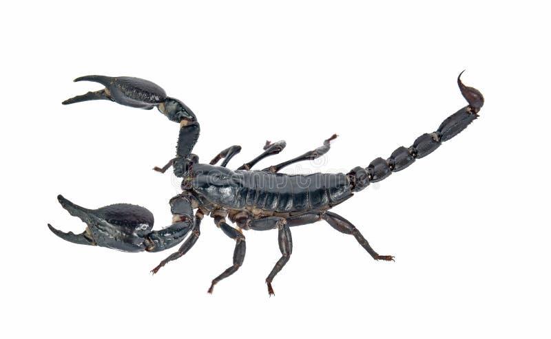 Скорпион на белой предпосылке стоковые фотографии rf