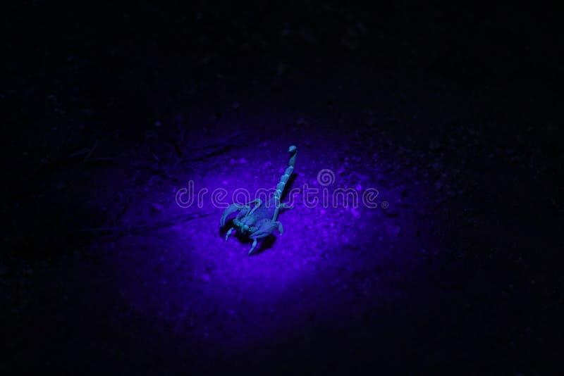 Скорпион под ультрафиолетовым светом стоковая фотография