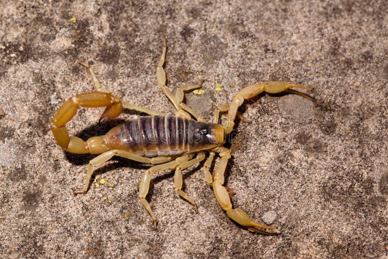 скорпион пустыни волосатый стоковые фото