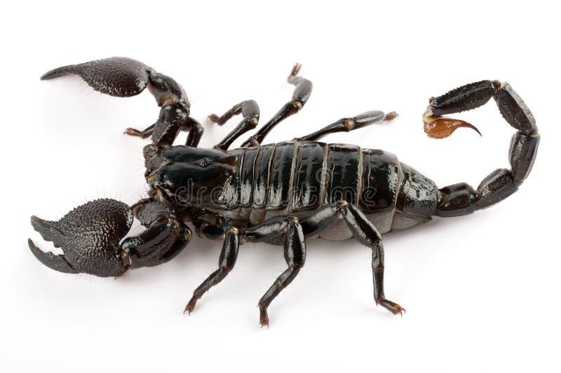 скорпион стоковое изображение