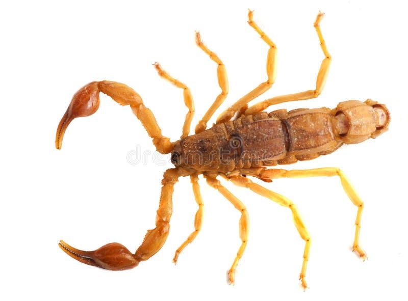 скорпион стоковое фото rf