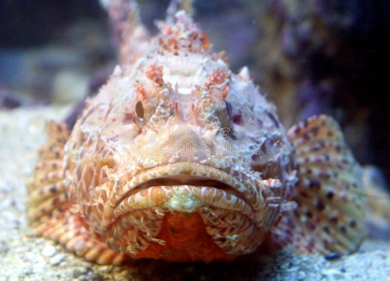 скорпион 6 рыб стоковое изображение