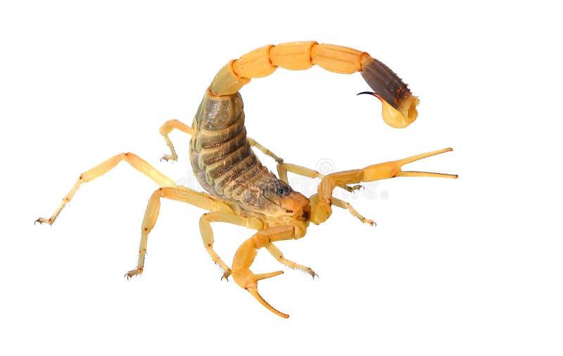 Скорпион (Deathstalker) стоковые изображения rf