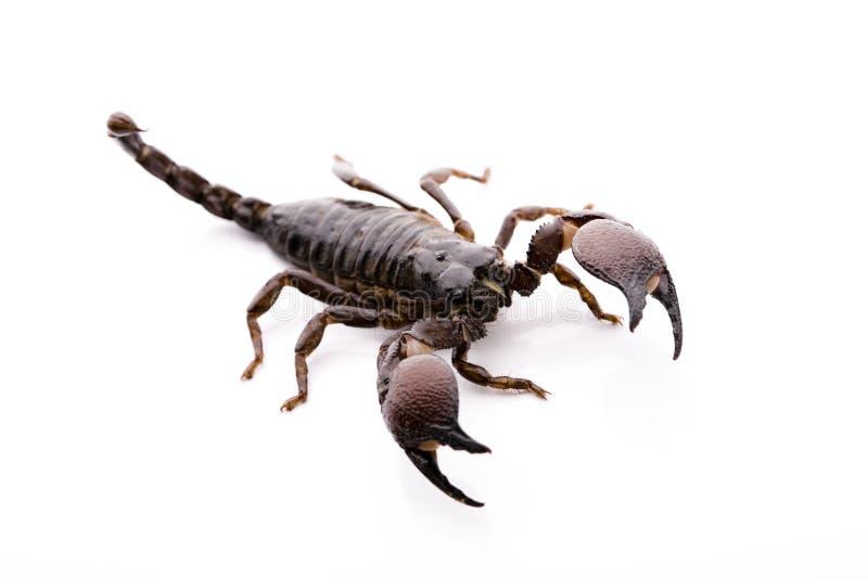 скорпион emporer стоковые фото