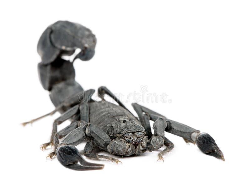 скорпион mauretanicus androctonus стоковая фотография rf