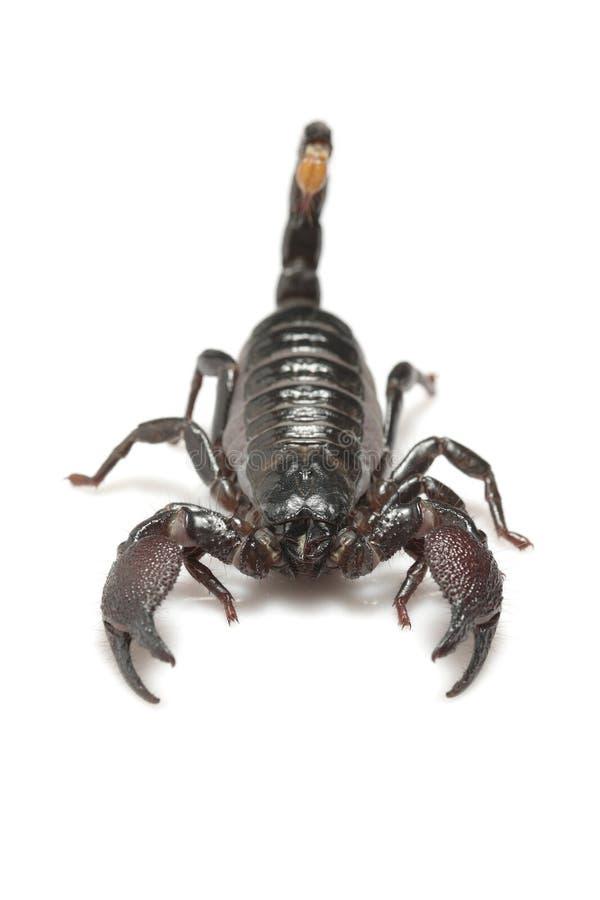 скорпион pandinus imperator императора стоковые фотографии rf