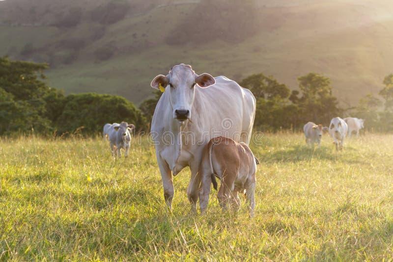 Скотины Брахмана - бык Indicus стоковое изображение