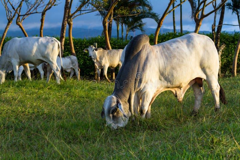 Скотины Брахмана - бык Indicus стоковые изображения