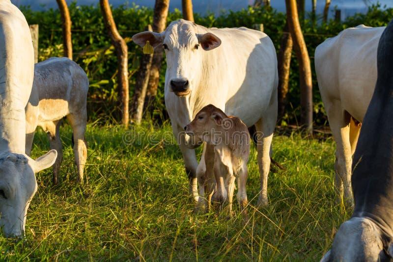 Скотины Брахмана - бык Indicus стоковое фото