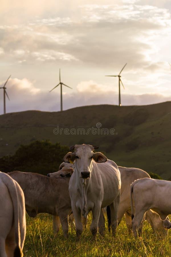 Скотины Брахмана - бык Indicus стоковое изображение rf