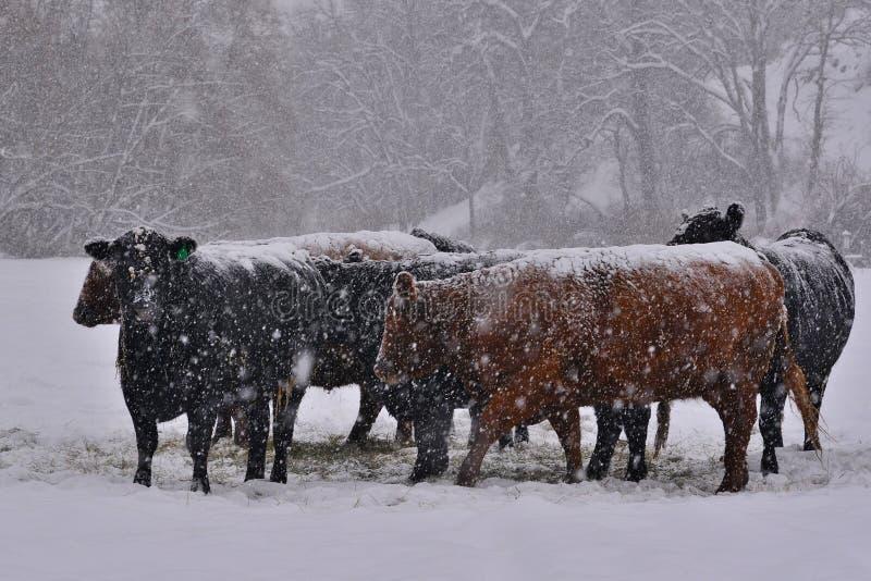 Скотины во время шторма зимы стоковые изображения