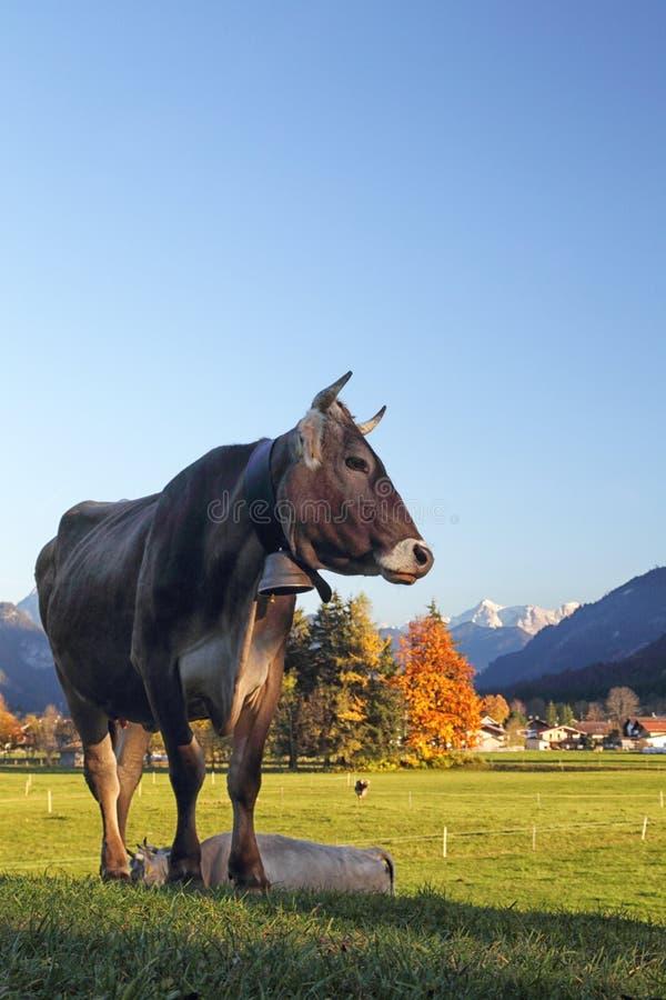Скотины в Баварии стоковое фото
