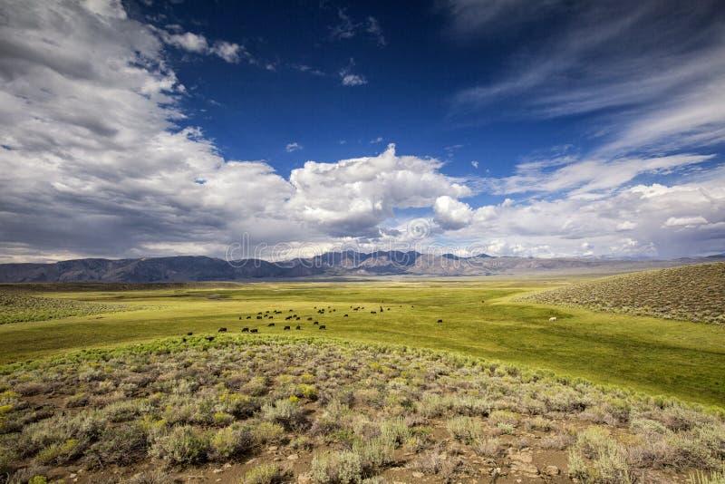 Скотины в долине Owens Калифорния стоковые фото