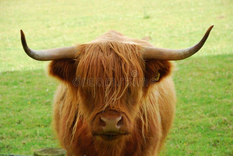 Скотины гористой местности, Шотландия стоковая фотография rf