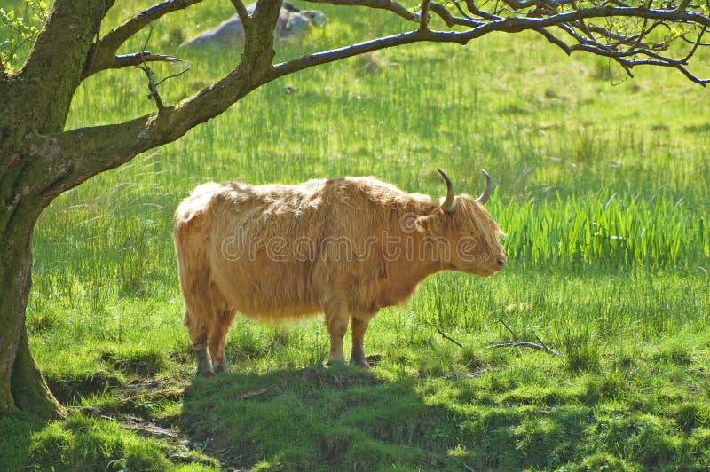 Скотины или корова гористой местности под валом. Шотландия стоковые фото
