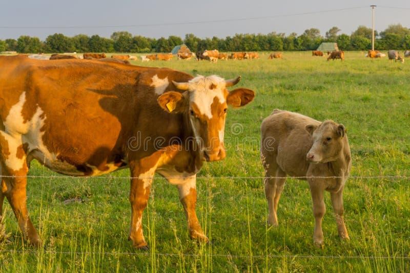 Скотины - коровы стоковые изображения
