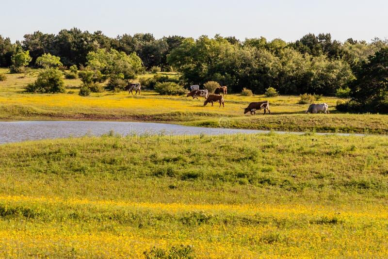Скотины лонгхорна пася в поле желтых wildflowers стоковые фото