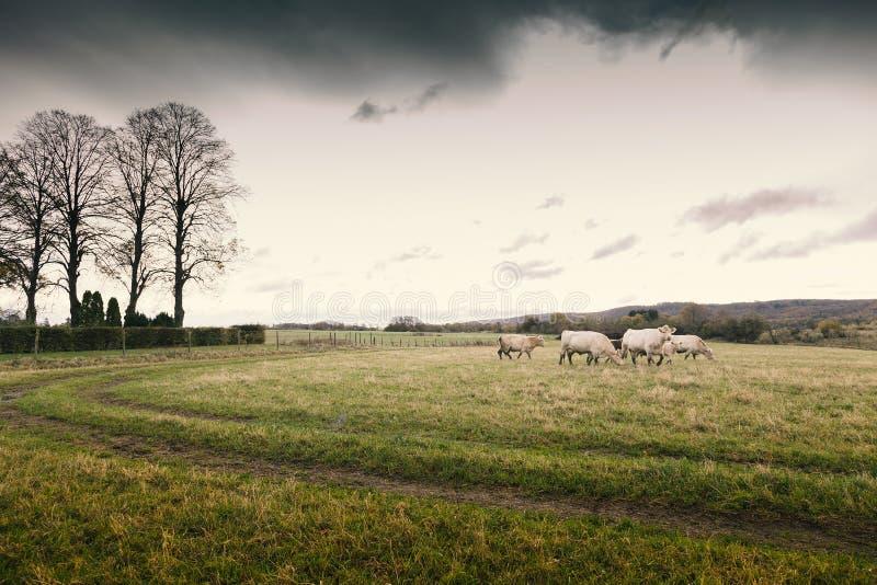 Скотины на поле стоковое фото