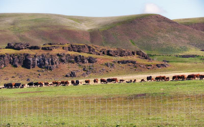 Скотины пасут в линии около утесов базальта стоковое фото rf