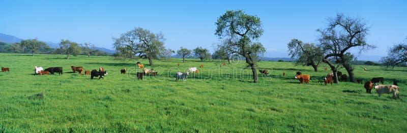Скотины пася в поле весны стоковые изображения