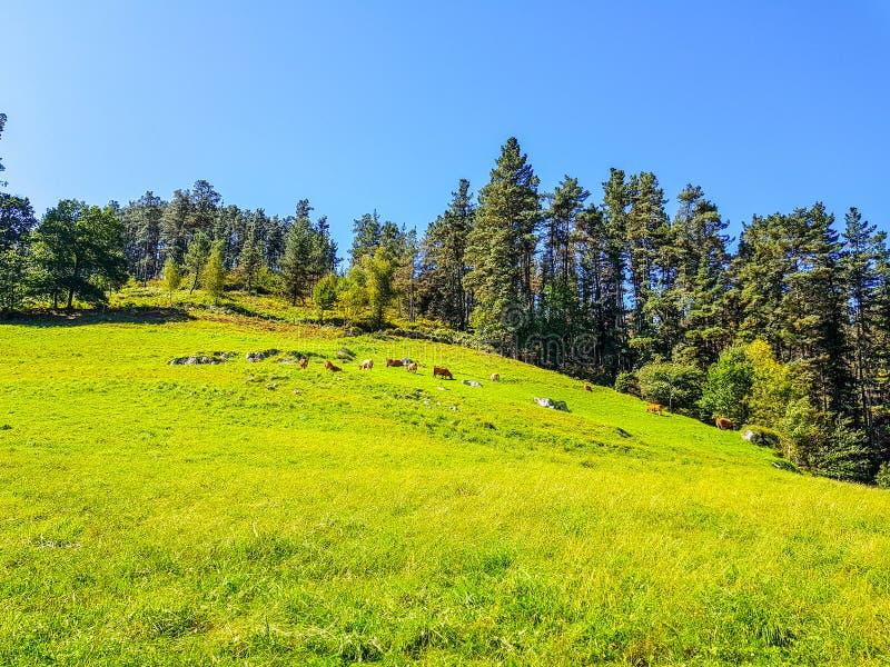 скотины пася на луге холма стоковая фотография rf