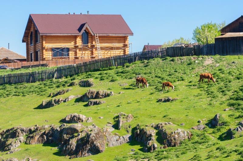 Скотины пася на травянистом наклоне около сельского дома стоковые фотографии rf