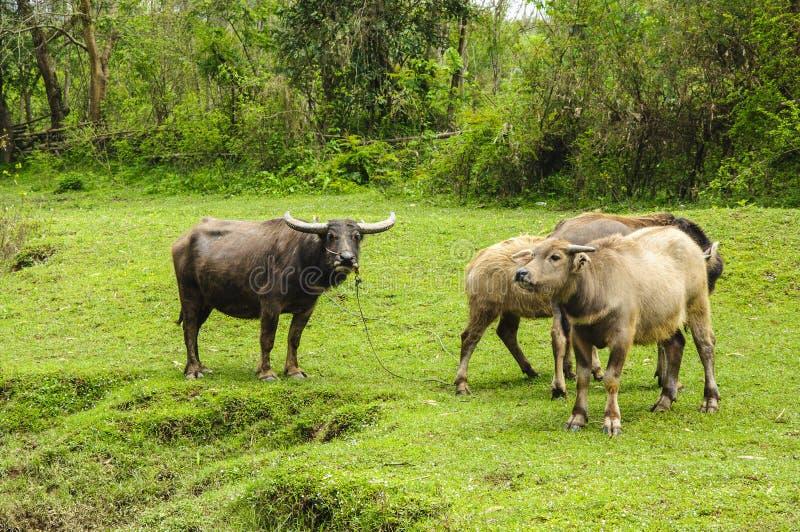 Скотины фермы на злаковике стоковое фото rf
