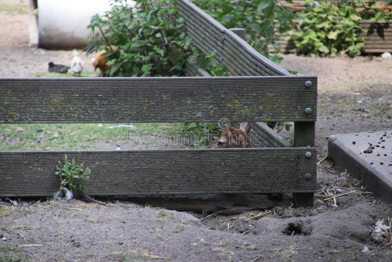 скотный двор оленины и оленей hinde публично в вертепе Ijssel Nieuwerkerk aan стоковые фотографии rf