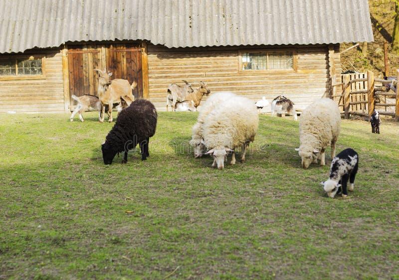 Скотный двор с козами и овцами против деревянного дома стоковые изображения rf