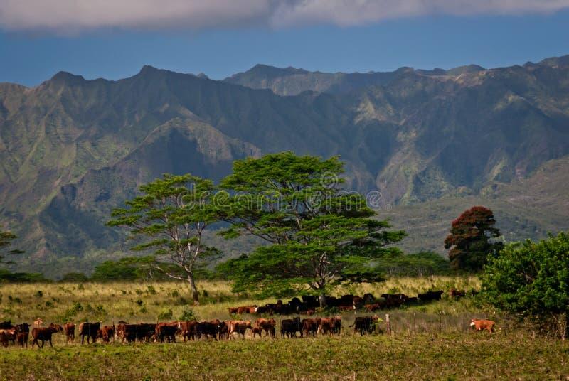 Скотоводческое ранчо на Кауаи, Гаваи стоковая фотография rf