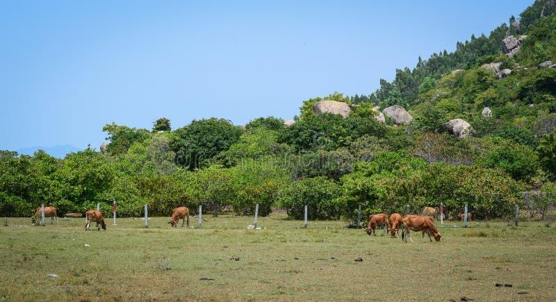 Скотоводческое хозяйство в Phan звенело, Вьетнам стоковая фотография rf