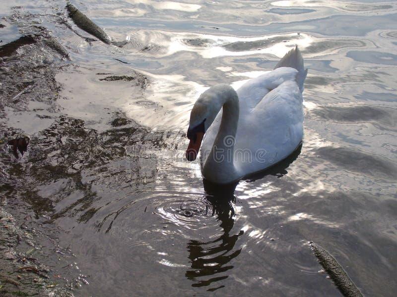 Скользя лебедь стоковое фото rf