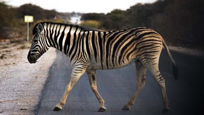 Скрещивание зебры дорога асфальта в Африке стоковая фотография rf
