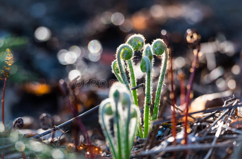 Скручиваемости пускать ростии зеленые папоротников sunlit младенца fiddlehead одичалых как раз по мере того как они пускают рости стоковое изображение