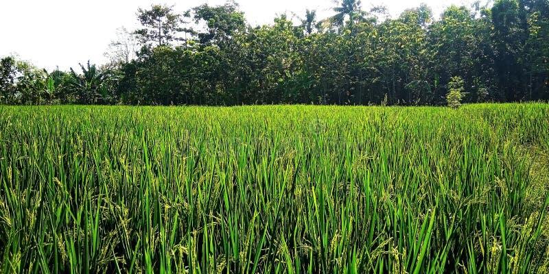 Слабо зацветая рис стоковые изображения