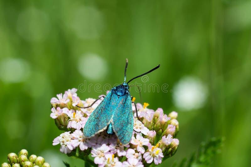 Славная голубая бабочка на цветении цветка, фото макроса с blured b стоковое изображение rf