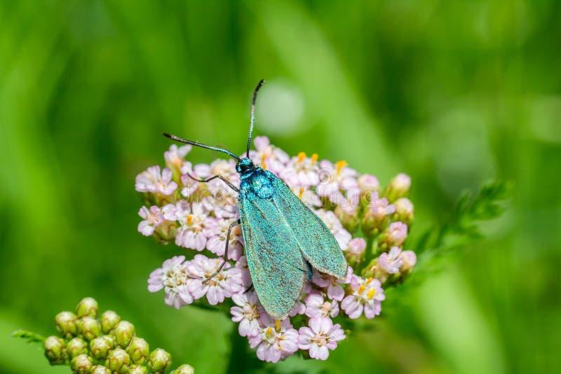 Славная голубая бабочка на цветении цветка, фото макроса с blured g стоковое фото rf
