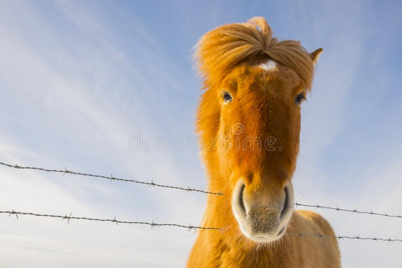 Славная исландская лошадь на солнечный день с ясным голубым небом стоковые фотографии rf