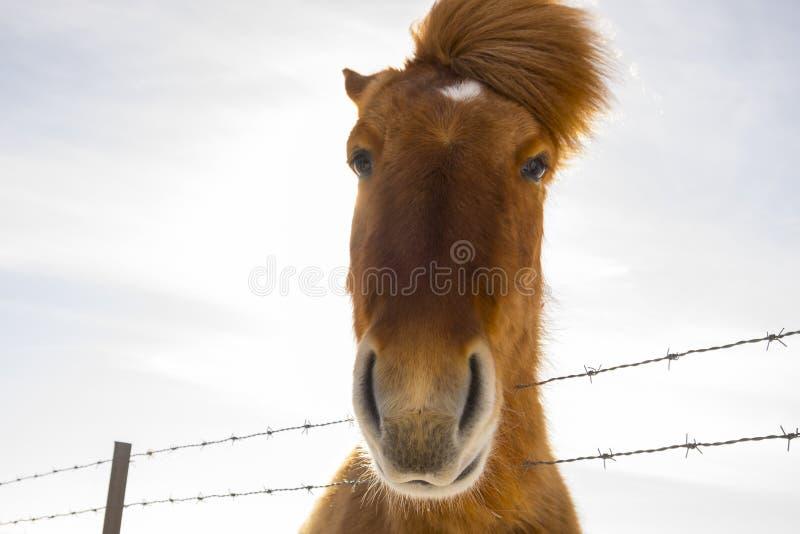 Славная исландская лошадь на солнечный день с ясным голубым небом стоковая фотография rf
