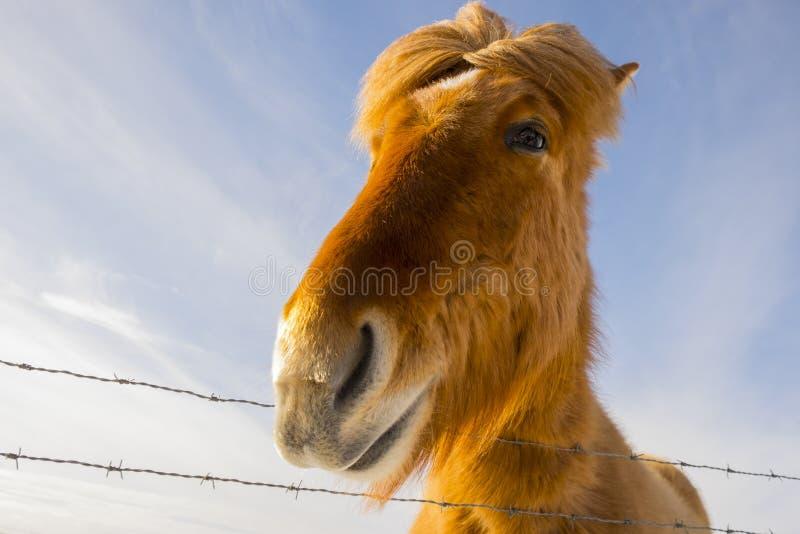 Славная исландская лошадь на солнечный день с ясным голубым небом стоковое изображение