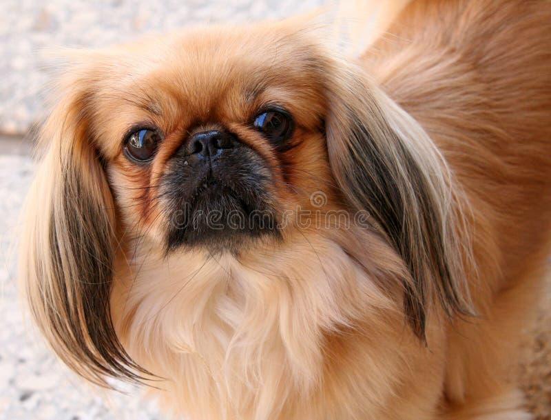 Славная Мопс-собака 2 стоковое фото rf