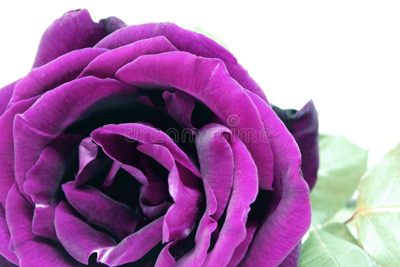 Славная розовая розовая деталь фото стоковые фото