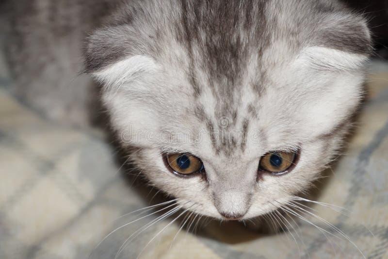 Славный великобританский котенок стоковое изображение rf
