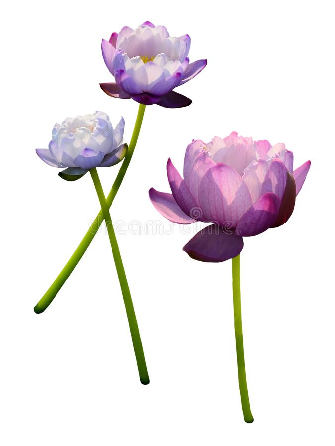 Славный фиолетовый зацветать цветка лотоса изолированный на белизне, стоковое изображение rf