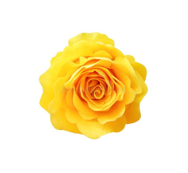 Сладкая желтая розовая голова цветков зацветая на белой предпосылке с путем клиппирования, естественным взгляда сверху одиночное  стоковое фото rf