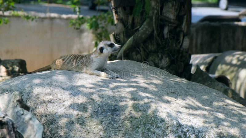 Сладкая мангуста Концепция животных в зоопарке Зоопарк Паттайя, Таиланд стоковые фотографии rf